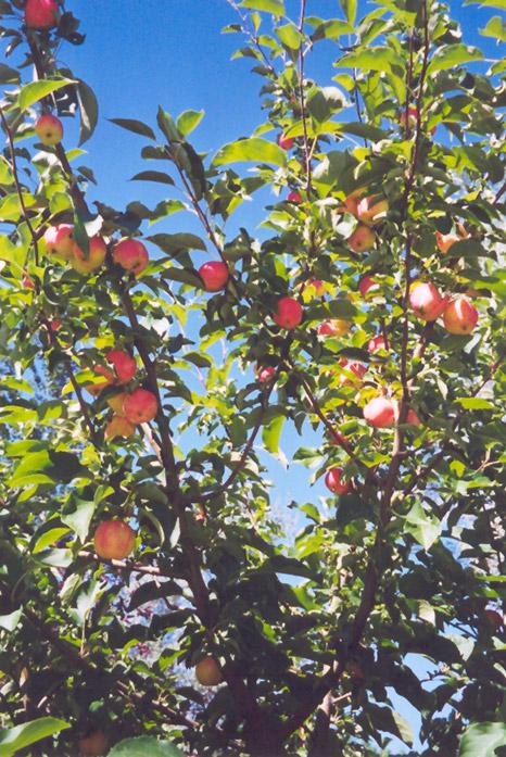 September Ruby Apple Malus September Ruby In Edmonton