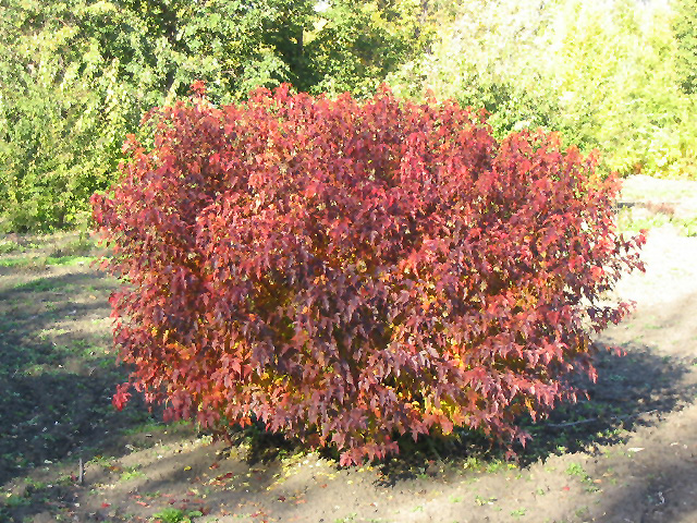 Atomic Amur Maple Acer Ginnala Durglobe In Edmonton St Albert
