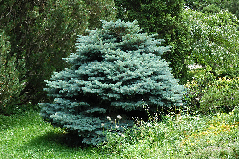 Decorative Blue Spruce : Blue globe spruce picea pungens globosa in edmonton st