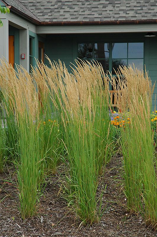 karl foerster reed grass calamagrostis x acutiflora 39 karl. Black Bedroom Furniture Sets. Home Design Ideas
