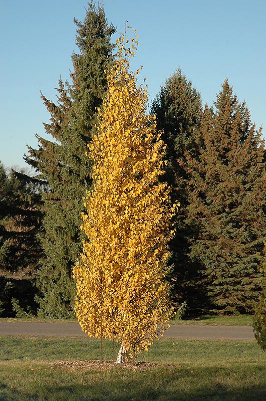 Dakota Pinnacle Birch Betula Platyphylla Fargo In