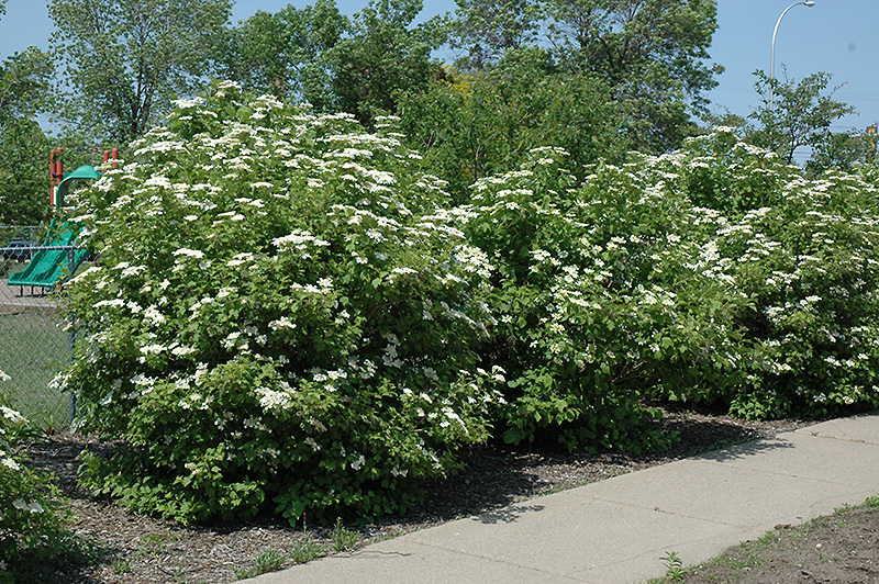 Highbush Cranberry Viburnum Trilobum In Edmonton St