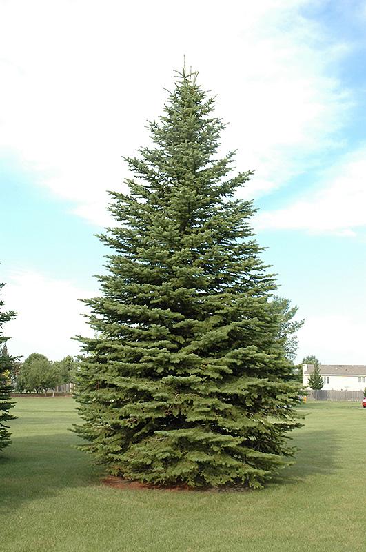 Colorado Spruce Picea Pungens In Edmonton St Albert