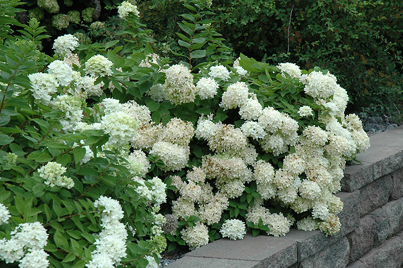 Flowering Bushes For Partial Shade