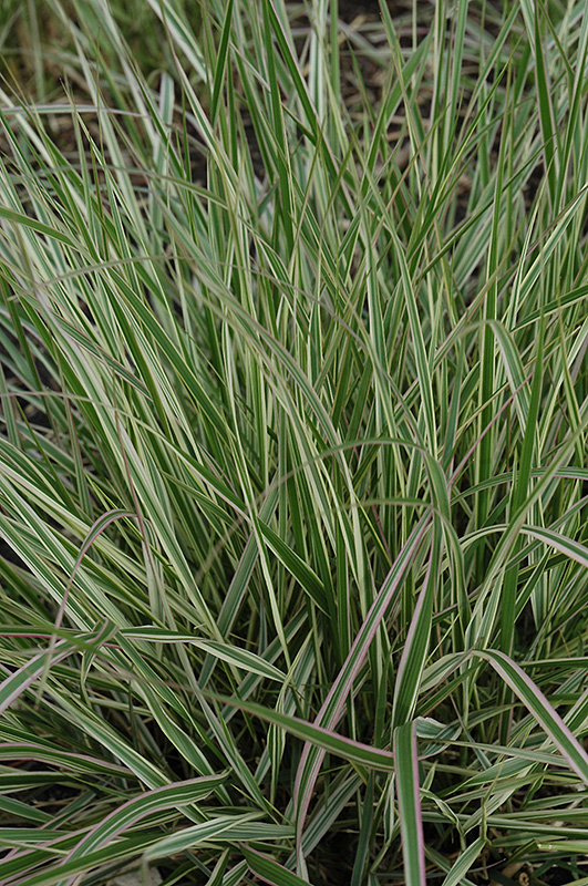 Variegated reed grass calamagrostis x acutiflora 39 overdam for Variegated grass plant