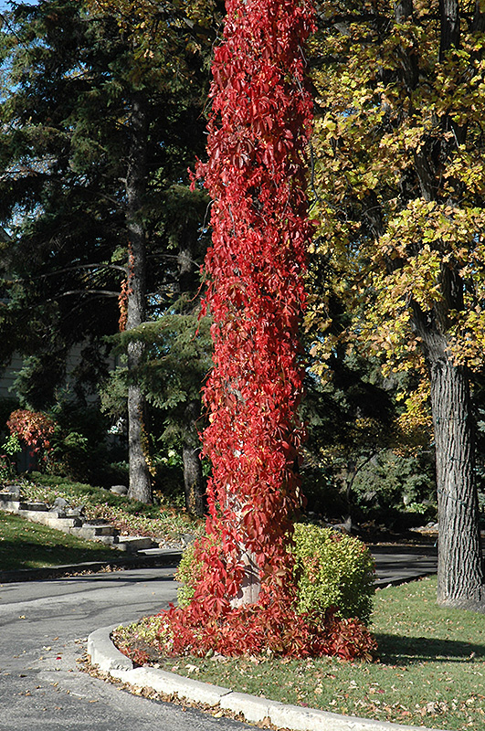 virginia creeper parthenocissus quinquefolia in edmonton st, Natural flower