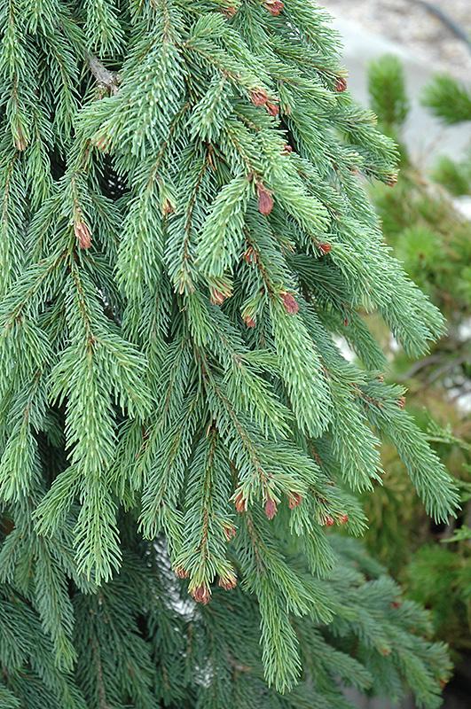 Weeping White Spruce Picea Glauca Pendula At Millcreek Nursery Ltd