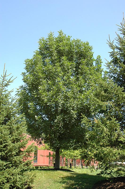 Landscape Garden Rugby : Prairie spire green ash fraxinus pennsylvanica rugby in edmonton