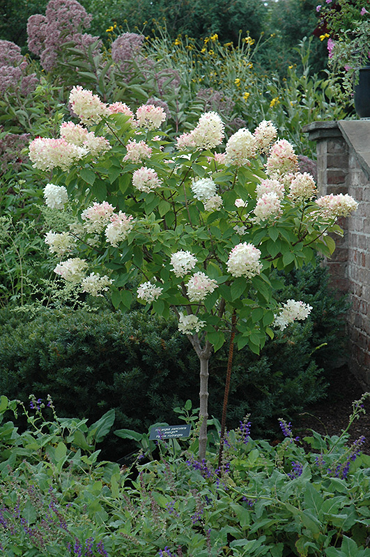 limelight hydrangea tree form hydrangea paniculata. Black Bedroom Furniture Sets. Home Design Ideas