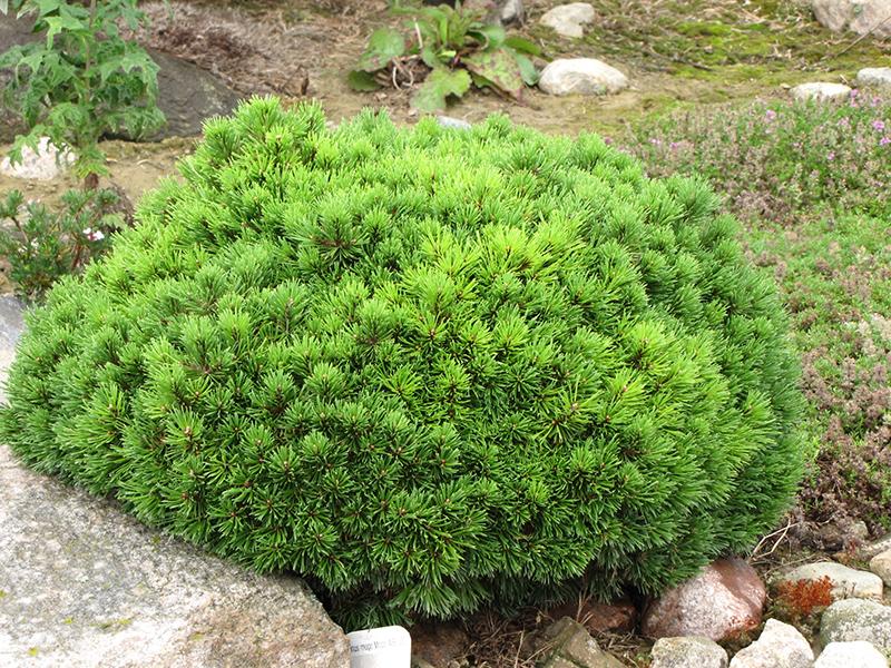 Mugo Pine Mops Pinus Mugo Mops In Edmonton St Albert