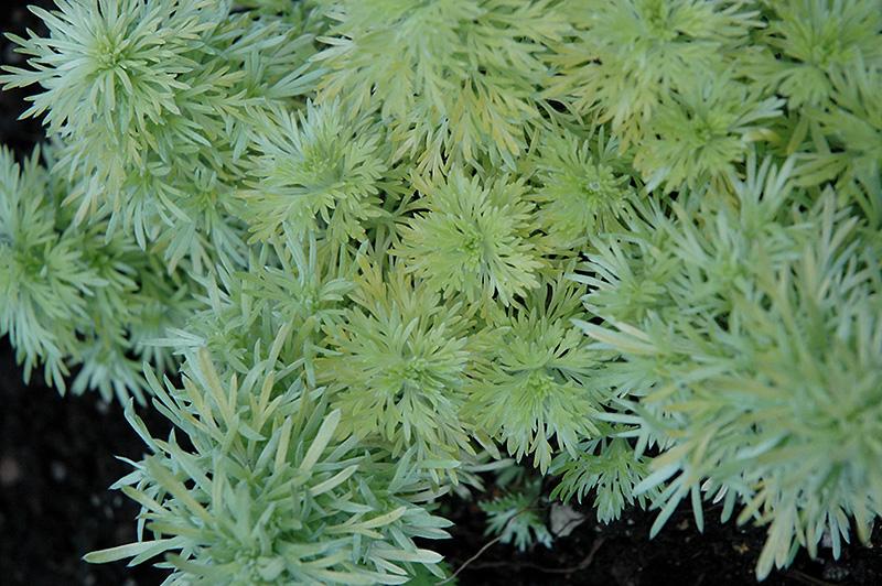 Ever Goldy Artemesia (Artemisia schmidtiana 'Ever Goldy') in