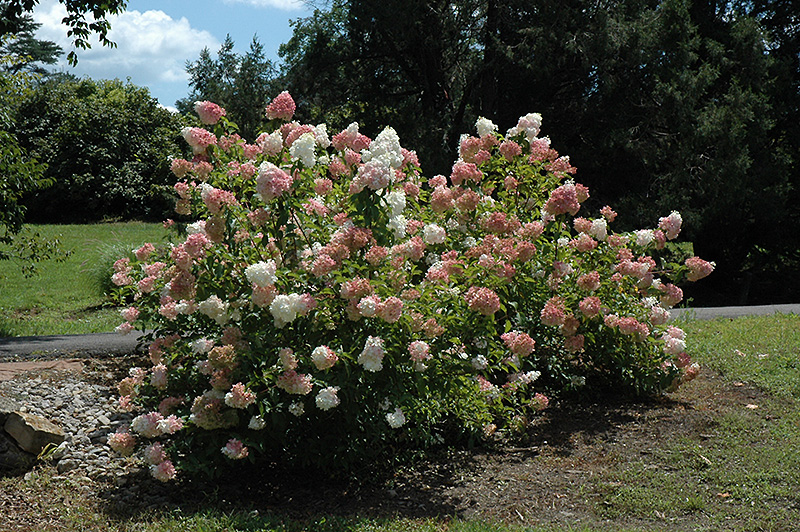 Vanilla Strawberry Hydrangea Hydrangea Paniculata Renhy