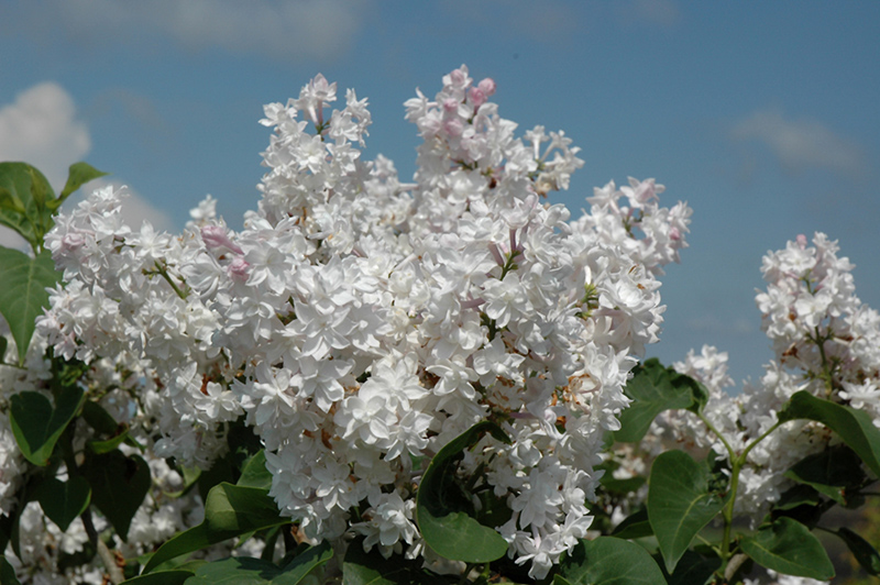 Beauty Of Moscow French Lilac Syringa Vulgaris Beauty Of