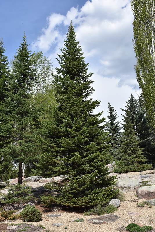 Alpine Fir Abies Lasiocarpa In Edmonton St Albert Sherwood Park