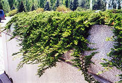 Prince of Wales Juniper (Juniperus horizontalis 'Prince of Wales') at Millcreek Nursery Ltd