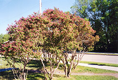Arnold Red Honeysuckle (Lonicera tatarica 'Arnold Red') at Millcreek Nursery Ltd