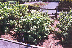 Red Lake Currant (Ribes sativum 'Red Lake') at Millcreek Nursery Ltd