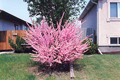 Double Flowering Plum (Prunus triloba 'Multiplex') at Millcreek Nursery Ltd