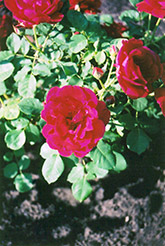 Cuthbert Grant Rose (Rosa 'Cuthbert Grant') at Millcreek Nursery Ltd