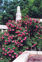 William Baffin Shrub Rose (Rosa 'William Baffin') at Millcreek Nursery Ltd