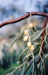 Russian olive elaeagnus angustifolia in edmonton st - Does olive garden deliver to your house ...
