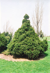 Ohlendorfi Spruce (Picea abies 'Ohlendorfii') at Millcreek Nursery Ltd