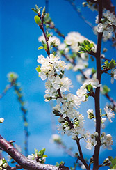 Mount Royal Plum (Prunus 'Mount Royal') at Millcreek Nursery Ltd