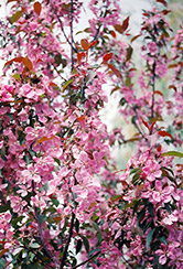 Shaughnessy Cohen Flowering Crab (Malus 'Shaughnessy Cohen') at Millcreek Nursery Ltd