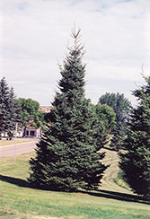 Black Hills Spruce (Picea glauca 'Densata') at Millcreek Nursery Ltd