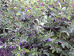 Berry Blue Honeyberry (Lonicera caerulea 'Berry Blue') at Millcreek Nursery Ltd