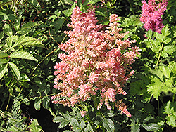 Country and Western Astilbe (Astilbe 'Country And Western') at Millcreek Nursery Ltd