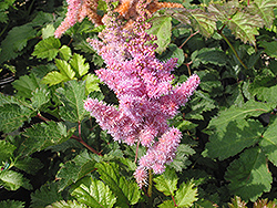 Heart and Soul Astilbe (Astilbe 'Heart and Soul') at Millcreek Nursery Ltd