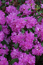 Compact P.J.M. Rhododendron (Rhododendron 'P.J.M. Compact') at Millcreek Nursery Ltd
