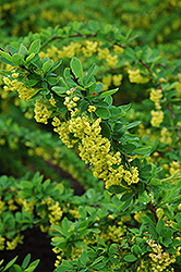 Emerald Carousel Barberry (Berberis 'Tara') at Millcreek Nursery Ltd