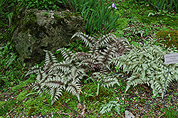Japanese Painted Fern (Athyrium nipponicum 'Pictum') at Millcreek Nursery Ltd