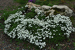 Candytuft (Iberis sempervirens) at Millcreek Nursery Ltd
