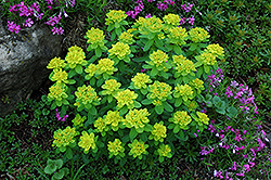 Cushion Spurge (Euphorbia polychroma) at Millcreek Nursery Ltd
