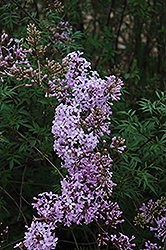 Cutleaf Lilac (Syringa x laciniata) at Millcreek Nursery Ltd