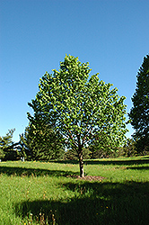 Shamrock Linden (Tilia cordata 'Shamrock') at Millcreek Nursery Ltd