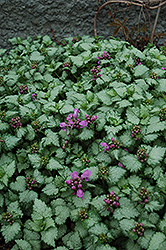 Red Nancy Spotted Dead Nettle (Lamium maculatum 'Red Nancy') at Millcreek Nursery Ltd