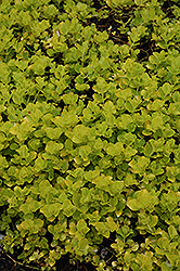 Golden Creeping Jenny (Lysimachia nummularia 'Aurea') at Millcreek Nursery Ltd