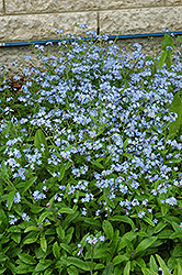Forget-Me-Not (Myosotis sylvatica) at Millcreek Nursery Ltd