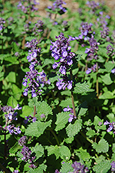 Dropmore Blue Catmint (Nepeta x faassenii 'Dropmore Blue') at Millcreek Nursery Ltd
