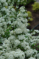Fairy Queen Spirea (Spiraea trilobata 'Fairy Queen') at Millcreek Nursery Ltd