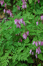 Bleeding Heart (Dicentra eximia) at Millcreek Nursery Ltd