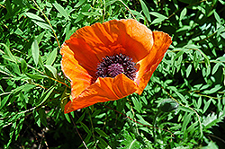 Oriental Poppy (Papaver orientale) at Millcreek Nursery Ltd
