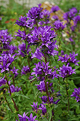 Clustered Bellflower (Campanula glomerata) at Millcreek Nursery Ltd