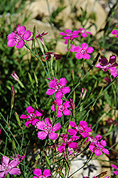 Alpine Pinks (Dianthus alpinus) at Millcreek Nursery Ltd