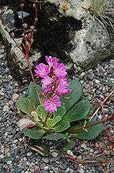 Bitterroot (Lewisia cotyledon) at Millcreek Nursery Ltd