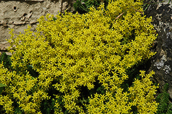 Golden Moss Stonecrop (Sedum acre) at Millcreek Nursery Ltd